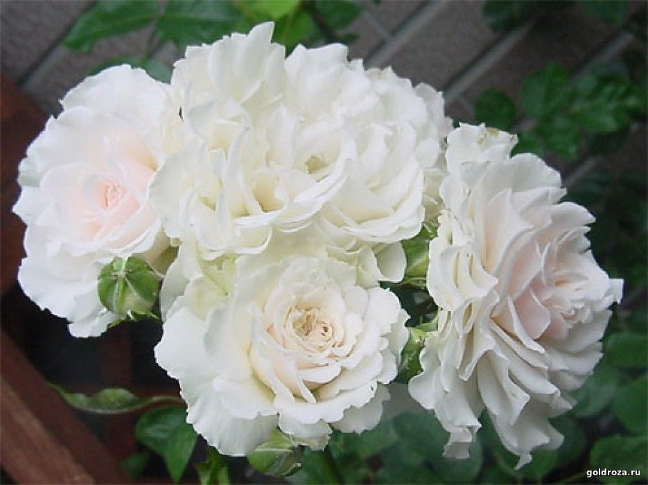 Great North Eastern Rose - ГРЕЙТ НОРС ИСТЕН РОУЗ
