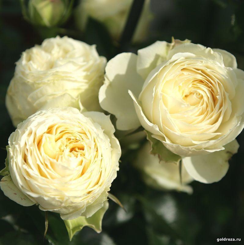 Нока-нока питомник роз