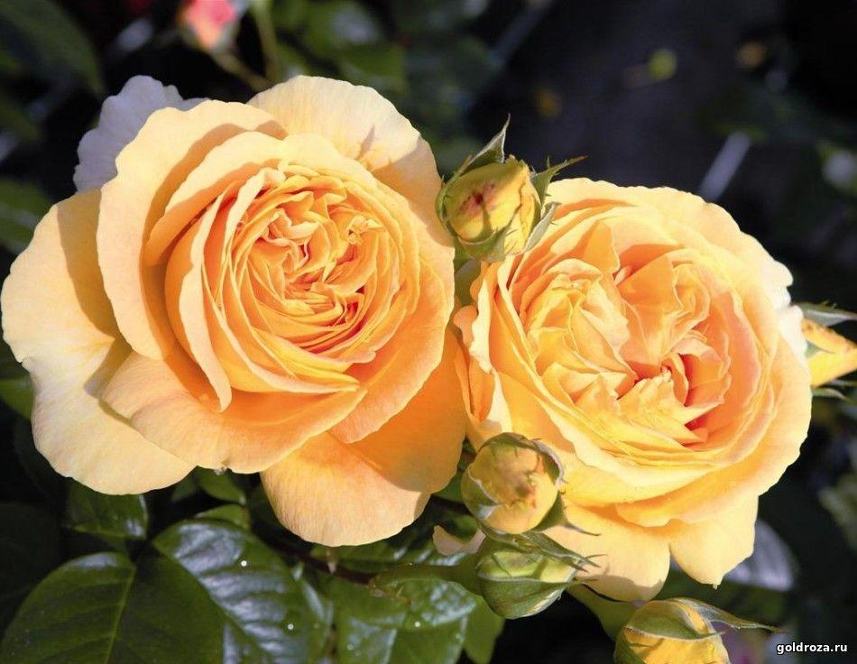 Нака-нока интернет-магазин саженцев роз