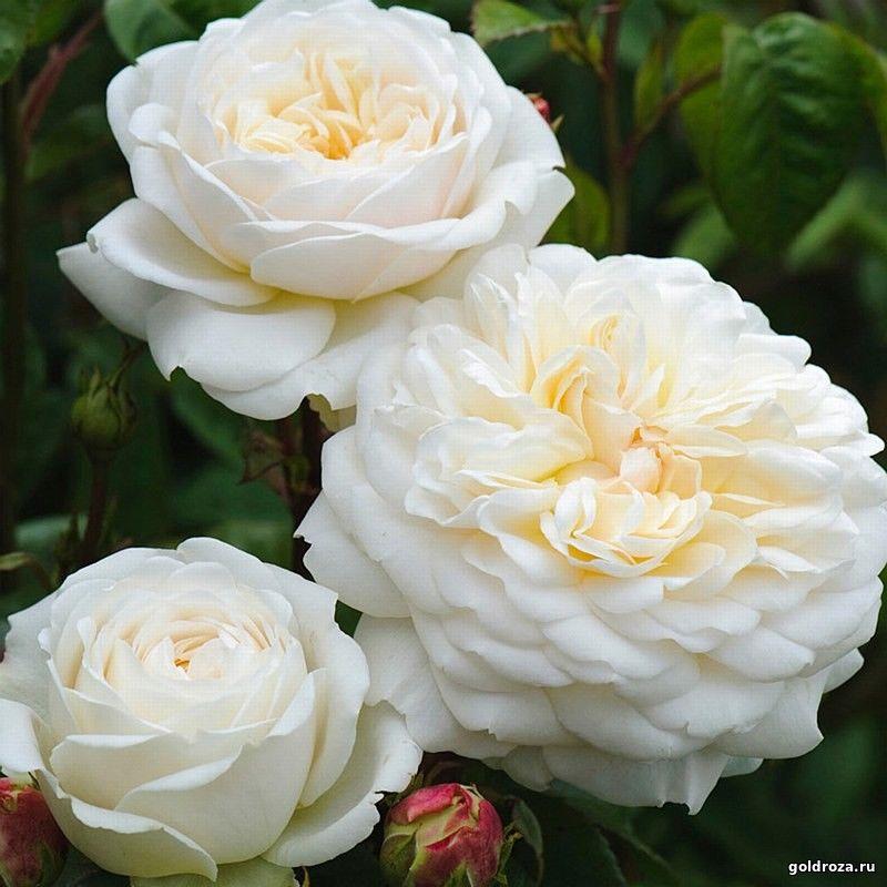 Розы от нака нока 2017